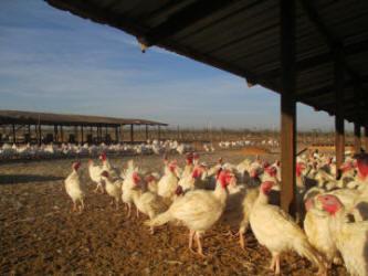 Mary S Free Range Organic And Heritage Turkeys